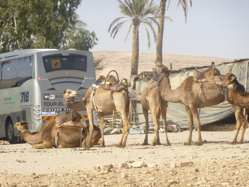 Camel pic 2